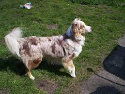 australian shepherd health australian shepherd lab mix characteristics appearance and pictures