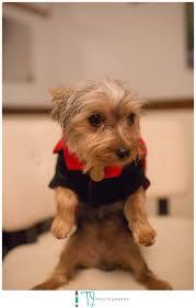 Ewok Dog Halloween Costume Dog Halloween Costumes Yorkshire Terrier Yorkie Puppies Dog