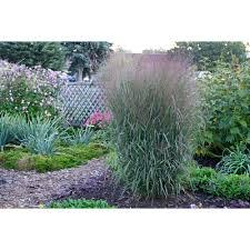 drought tolerant perennials garden plants u0026 flowers the home