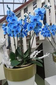 blue orchids blue orchids picture of keukenhof lisse tripadvisor