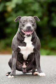 american pitbull terrier in uk cops seize little u0027s rescue dog after neighbours claimed it