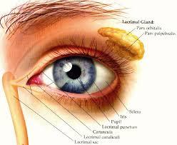 Anatomy Of A Cats Eye Eyech3 H Html