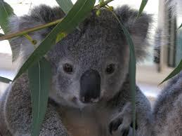 sad koala bear meme