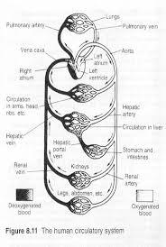 human circulatory system worksheet free worksheets library