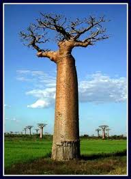 401 best nature baobab tree tree of mbuyu images on
