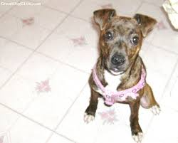 american pitbull terrier 5 months old a photo of a 5 months old brindle bull boxer sweet