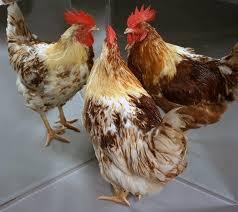 half male chicken mystery solved