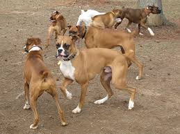 boxer dog shows 2016 about boxer dog breed dog breeds puppies
