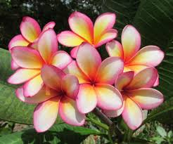 plumeria flower plumerias plant care and collection of varieties garden org