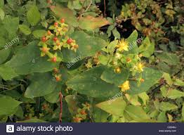 Poisonous British Wild Plants Berries And Flowers Of Deadly Sun