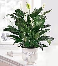 funeral plants memorial plants popular funeral remembrance plants ftd