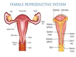 Female Sexual Anatomy Pictures Male U0026 Female Reproductive System