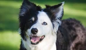 belgian shepherd x border collie border collie dog breed information