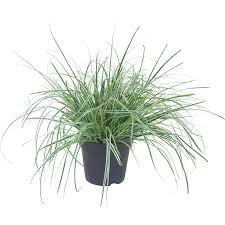 Sweet Flag Herb Gräser Bambusse U0026 Farne Online Kaufen Bei Obi