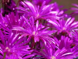 free images flower purple petal flora wildflower close up