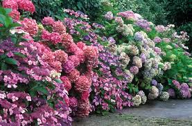 how to grow healthy hydrangeas
