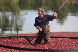 harvesting at thacher u0027s bog cape cod chronicle