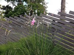 plant identification closed ornamental grass with pink flowers