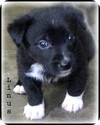 rescue a australian shepherd linus awwww how cute adopted puppy marlborough ma
