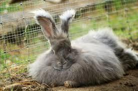 angora rabbits 101 feeding angora rabbits organically diy herbs