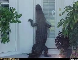 Alligator Memes - knock knock alligator meme generator captionator caption