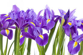 Birth Flower Of January - birth month flower of february the iris