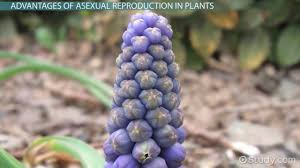 asexual reproduction in plants advantages disadvantages u0026 types