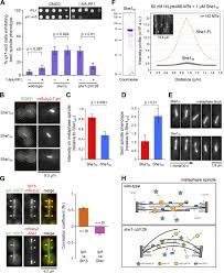 microtubule cross linking activity of she1 ensures spindle