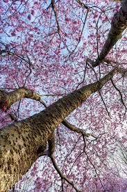 up the cherry blossom tree marblehead ma