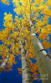 nature painting blue sky and tall aspen trees by gary kim