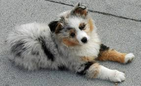 australian shepherd gray arlo the australian shepherd puppies daily puppy