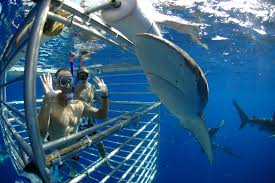 swim and dive with sharks at hawaii shark encounters
