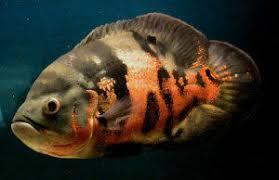 types of aquarium fish amur good weather in the ocean