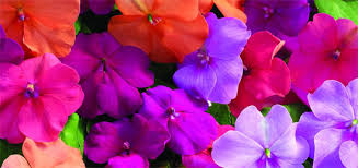 The Month Of June Flower - 2015 june northescambia com