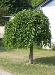 ornamental trees tree farm innisfil