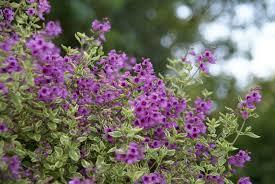 purple flowering australian native plants eye catching australian mint bush per joy