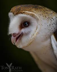 Barn Owl Photography 526 Best Barn Owl Images On Pinterest Barn Owls Nature And