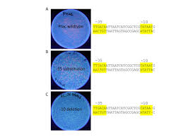 using synthetic biology and pclone red for authentic research on