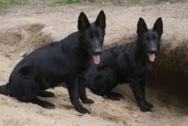 belgian sheepdog german shepherd mix 46 best black german shepherd pictures