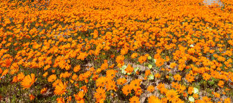 South African Wild Flowers - flower safari in south africa the good holiday