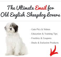 belgian sheepdog apartment are old english sheepdogs good apartment dogs see what real old
