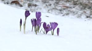 violet crocus on a snowed field announcing the winter end and