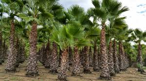 mexican fan palm growth rate gregory palm farms february 2015
