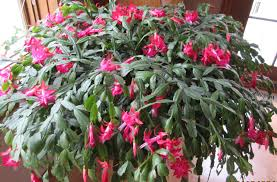 is it a thanksgiving cactus or a cactus growing