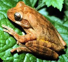 america areas mexican tree frog