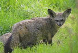 bat eared fox information from marwell the zoo