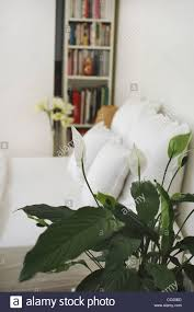 peace lily or spathiphyllum in a bedroom a cleansing plant that peace lily or spathiphyllum in a bedroom a cleansing plant that absorbs floating toxic organic particles