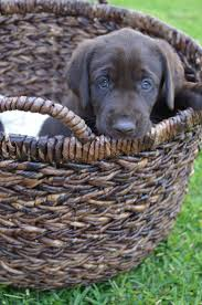 1343 best labrador retriever u0027s best dogs in the world images