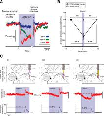 optoactivation of locus ceruleus neurons evokes bidirectional