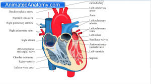 Diagram Heart Anatomy Images Of Heart Structure Anatomy Diagram Heart Anatomy Chambers
